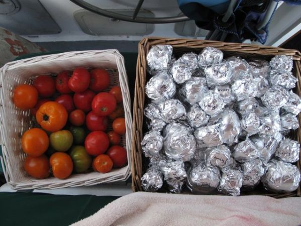 This was the beginning of the experiment, half of the tomatoes were wrapped in tinfoil and half of the tomatoes were left unwrapped. Let's just say the wrapped tomatoes didn't fare so well. Photo Lindsey Hoshaw